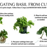 How to Get Basil to Root